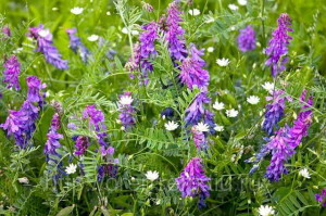 Цветок вика для удобрения почвы
