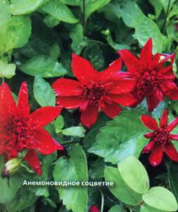 Анемоновидное соцветие