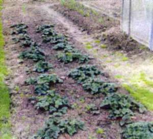 Грядка с садовой ягодой