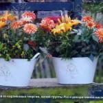 Сорта георгин для выращивания в контейнерах