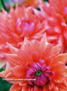 Полукактусовые соцветия