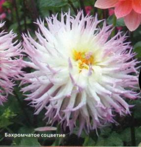 Бахромчатые соцветия
