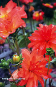 Нимфейные соцветия