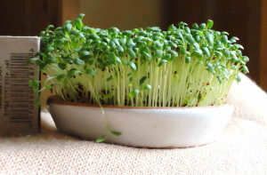 Салатные ростки в плошке