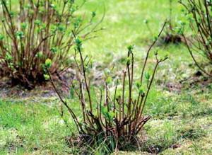 Обрезка растений на пень