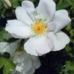 Цветение сорта Невада