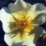 Притти Сноу в цвету