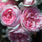 Цветы Синдерелла
