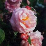 Фриц Нобис на садовой клумбе