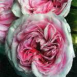 Вид роз Королева Дании