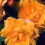 роза Штуттгардиа