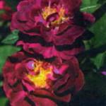 Роза Тускани