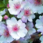 Цветок Свит Притти