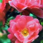 Хейдетраум в цвету