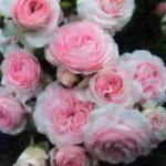 Цветы сорта Ларисса