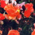 Почвопокровная роза Джаз