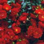 Роза Альпенглюэн