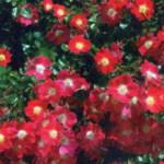 Кандия Мейдиланд в саду