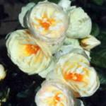 сорт плетистой розы Ютерзенер Клостеррозе