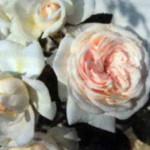 роза Ванилла