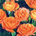 роза Оранж Даун