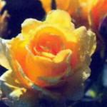 роза Зоммерголд