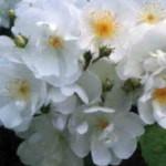 роза Бобби Джеймс