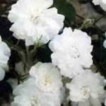 роза Гирлянде д'Амур