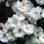 роза Венуста Пендула