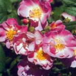 роза Эппл Блоссом
