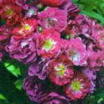 роза Перенниал Блу