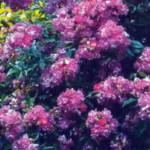 роза Вейльхенблау