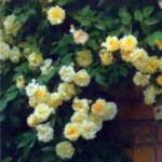 роза Малверн Хиллс