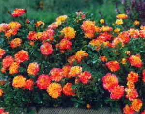 Живой бордюр из цветов
