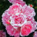 Цветы Флирт 2011