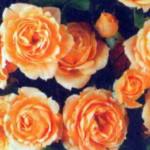 Роза Априкот Клементине