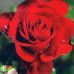 Медли Руби в розарии