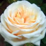 роза Герман-Гессе-Розе