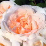роза Космос