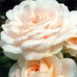роза Лионе-Розе