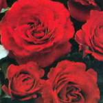 роза Эрфордиа