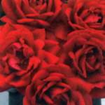 роза Югендлибе