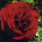 роза Руж Мейлав