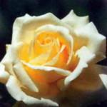 роза Амбиенте