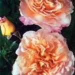 роза Аугуста Луизе