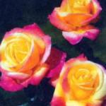 роза Пулмэн