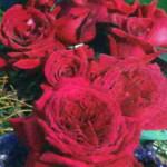 роза Дуфтфестиваль