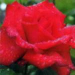 роза Гранде Аморе