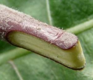 Прививка яблони копулировкой
