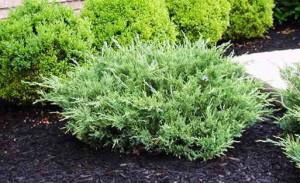 Почва для хвойных и вересковых растений
